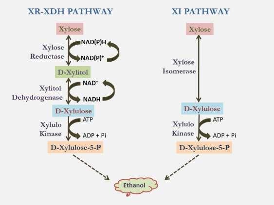 xylulose kinase - 563×422