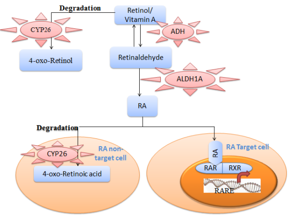 Retinoic Acid Synthesis and Signalling