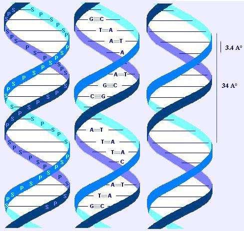 http://atlasgeneticsoncology.org/Educ/Images/DoublehelixE.jpg