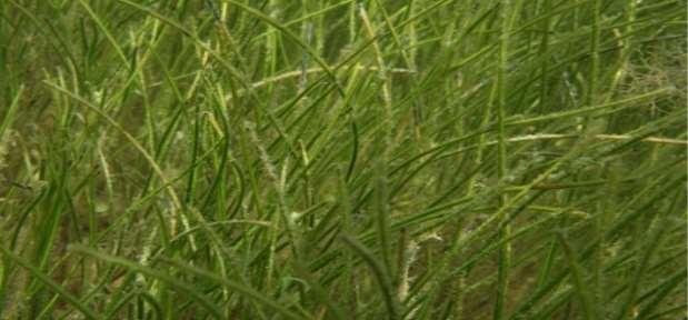 http://www.dep.state.fl.us/coastal/habitats/seagrass/images/Seagrass_Manateegrass1.jpg