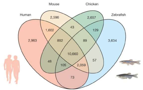 Orthologue genes shared between the zebrafish, human, mouse and chicken genome (Kerstin Howe et al)