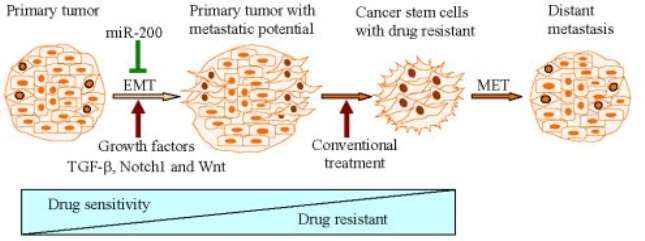 How epithelial-mesenchymal transition can be linked to metastatic cancer