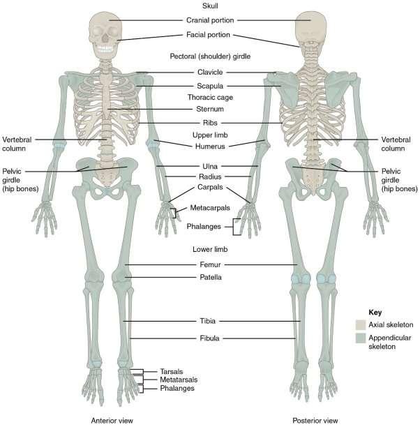 effects of swedish body massage on body image 8 skeletal system