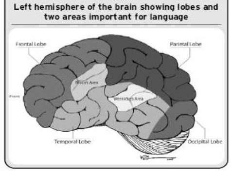Figure 1 - left hemisphere of the brain