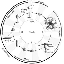 dictyostelium life cycle.jpg