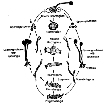 Reproductive System and Life Cycle in Ascaris (With Diagram)