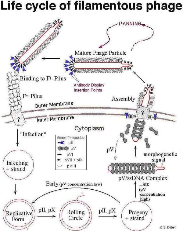 Life cycle of filamentous phage