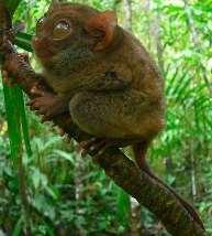 Philippine tarsier.jpg