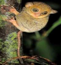 Horsfields-tarsier-infant-clinging-to-tree-trunk.jpg