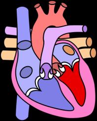 http://northamericanpharmacal.com/living/wp-content/uploads/2013/10/372px-Heart_normal.svg_.png