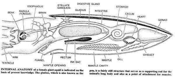 Squid internal anatomy