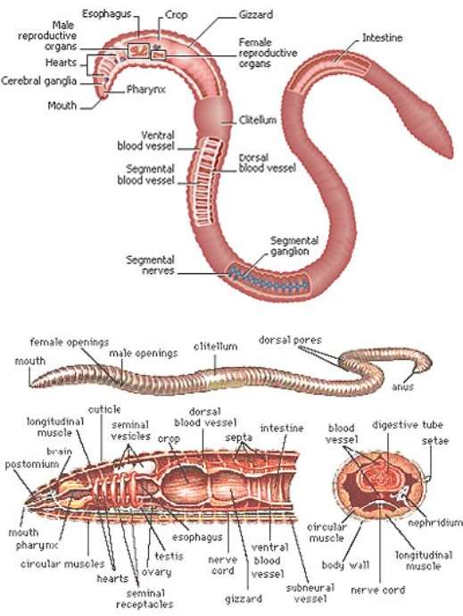 Earthworm External Internal Anatomy