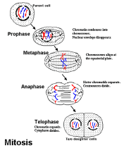 http://www.accessexcellence.org/RC/VL/GG/images/MITOSIS.gif