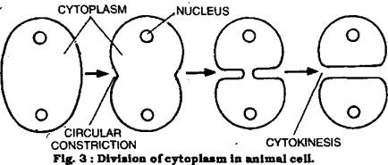 http://home.apu.edu/%7Ejsimons/Bio101/cytokinesis.png