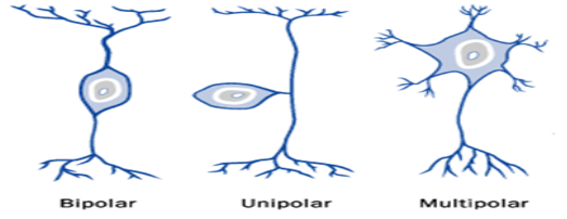 http://vetsci.co.uk/wp-content/uploads/2010/03/idealised-neurone-types1.png