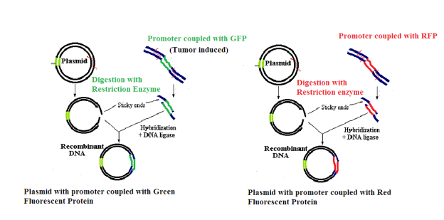 C:\Users\User\Desktop\RDNA FINAL ASSIGNMENT\plasmid construction.png