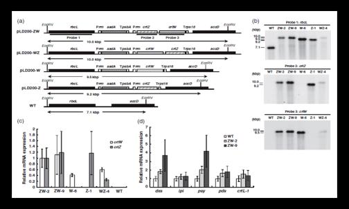 Molecular characterization of transplastomic plants
