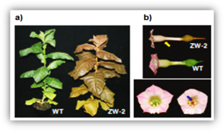 Color changes in the aerial part (a) and flowers (b) of transplastomic tobacco