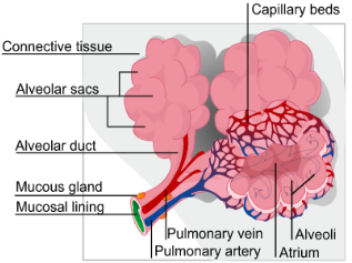 Smoking and alveolar damage fig1 diagram of an alveoli ccuart Images