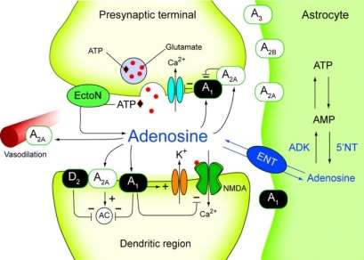 Representation of adenosine acting being released by astrocyte and acting in synapses.