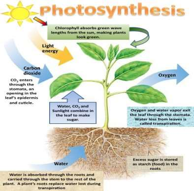http://science6shms.pbworks.com/f/photosynthesis%2520process.jpg