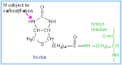 http://www.rpi.edu/dept/bcbp/molbiochem/MBWeb/mb1/part2/images/biotins.gif
