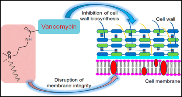 Vancomyocin mode of action