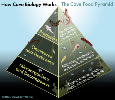 http://s.hswstatic.com/gif/cave-biology-pyramid-32.gif