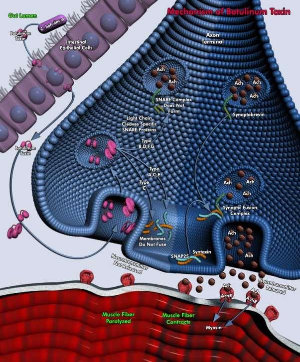 D:\Assignment\Biology\Sem2\Mechanism of Botulinum Toxin.jpg