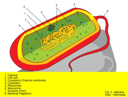 D:\Assignment\Biology\Sem2\Prokaryote_cell_diagram.png