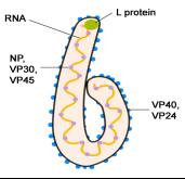Ebola-Virus.gif