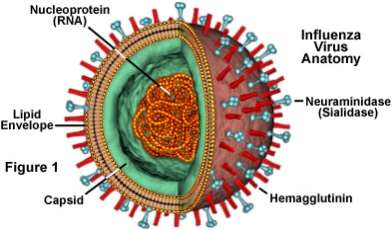 Influenza Virus Structure
