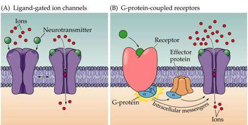 Ion-channel coupled receptors