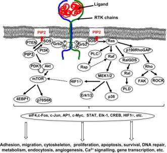 RTK Intracellular signalling pathways