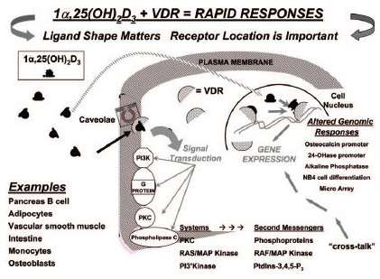 Intracellular signalling by Vitamin D3 when bound with VDR