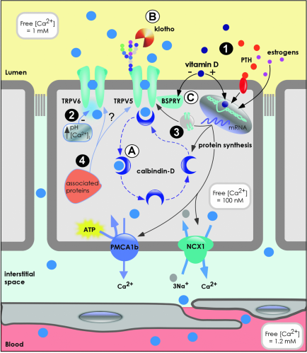 Overview of duodenal epithelial Ca2+ transport