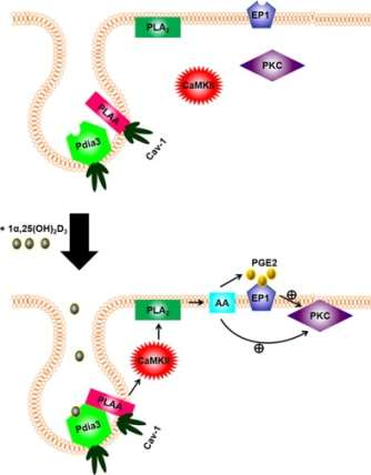 1,25(OH)2D3 rapid response cell signalling pathway