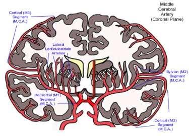 http://www.meddean.luc.edu/lumen/MedEd/neuro/neurovasc/ImageFiles/mca.jpg