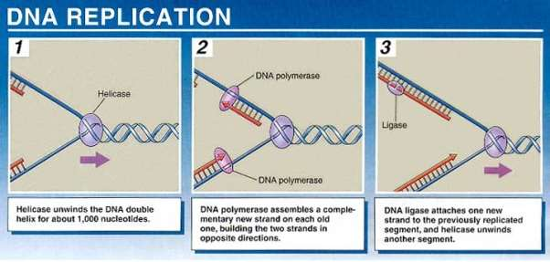 http://www.nvo.com/jin/nss-folder/scrapbookcell/DNA%20Replication.jpg