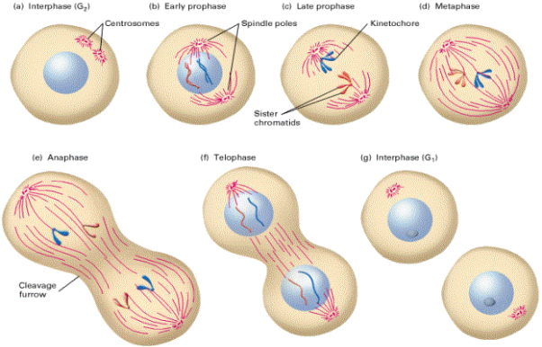 http://3.bp.blogspot.com/-IolTTAyU0gs/TltbFRzVwVI/AAAAAAAAAEc/46aGPBRcSlA/s1600/i77_dwa_1_mitosis.gif