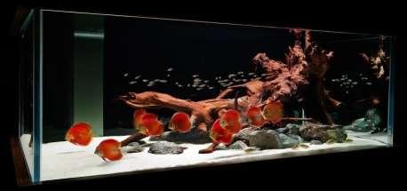 http://www.aquariumdesigngroup.com/data/photos/16_1aquarium_red_discus_fishtank.jpg