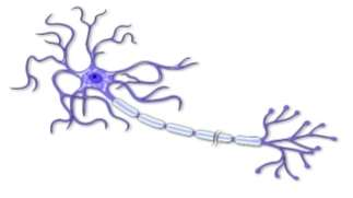 http://www.smartdraw.com/examples/content/Examples/10_Healthcare/Anatomy_Illustrations/Motor_Neuron_of_the_Nervous_System_L.jpg