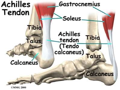 http://www.eorthopod.com/images/ContentImages/ankle/ankle_anatomy/ankle_anatomy_tendons02.jpg