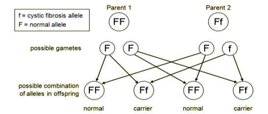 The cystic fibrosis allele is represented by f. The normal allele is F. Suppose one parent is FF and the other is a carrier, Ff. The possible combinations of alleles in the children are FF, FF, FF and Ff. So the parents cannot produce children with cystic fibrosis (ff). But they can produce children with alleles Ff, who will be carriers