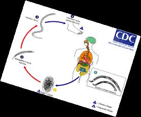 http://media1.shmoop.com/images/biology/biobook_infectdis_graphik_29.png