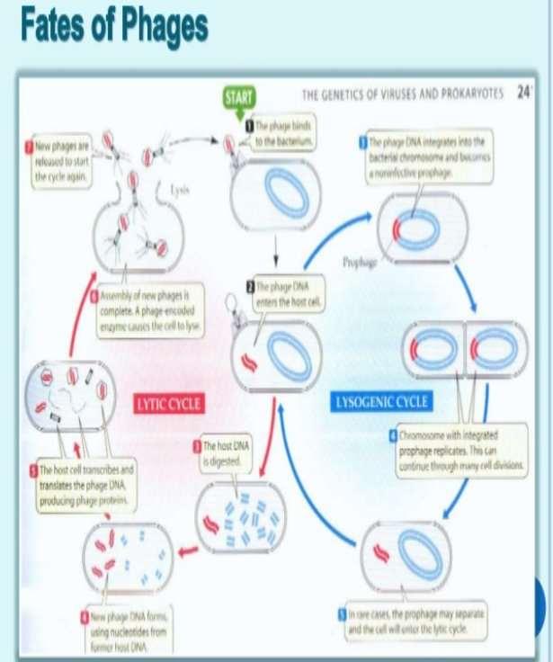http://image.slidesharecdn.com/phagetherapy-130407122229-phpapp02/95/phage-therapy-7-638.jpg?cb=1365355429