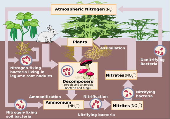 2000px-Nitrogen_Cycle.svg.png