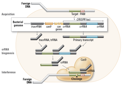 C:\Documents and Settings\abc\Desktop\FA_Cas9_Fig1_Cas9InVivo.png