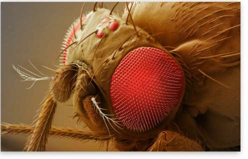 fruit_fly_head-t2.jpg