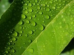 http://www.wallcoo.net/nature/vista_plants_wallpapers_pack_13/images/water_drops_on_leaves_vplants_x3_0020.jpg